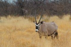 Gemsbok w sawannie, Oryx gazella Fotografia Royalty Free