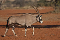 Gemsbok walking in the kalahari. Stately large antelope, sturdy neck; distinctive black markings on face, lower flanks and upper legs, white belly, body grey Stock Photo
