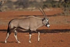 Gemsbok walking in the kalahari Stock Photo