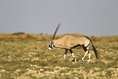 Gemsbok walking in the Kalahari desert Stock Images