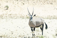 Gemsbok in watercolor background Stock Photography