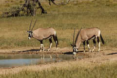 Gemsbok at waterhole in Kgalagadi Transfrontier Pa Stock Image