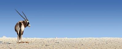 Gemsbok on white rocky soil Royalty Free Stock Image