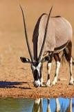 Gemsbok woda pitna Fotografia Royalty Free