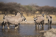 Gemsbok & x28; Oryx& x29; Obraz Stock