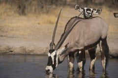 Gemsbok & x28; Oryx& x29; Obrazy Stock