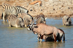 Gemsbok and zebra in water Stock Photos
