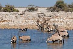 Gemsbok and zebras at waterhole Royalty Free Stock Photography