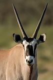 Gemsbokantilope Lizenzfreie Stockfotos