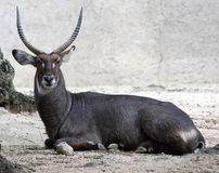 Gemsbokantilope Oryx Gazella Lizenzfreie Stockfotografie