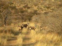 Sydliga afrikanska djur Arkivfoto