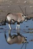 gemsboknamibia oryxantilop Arkivbilder