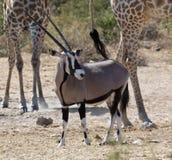 gemsboknamibia oryxantilop Arkivfoto