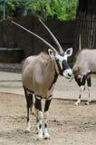 Gemsboks en el parque zoológico Imagen de archivo libre de regalías