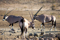 Gemsboks in the Kalahari desert. Gemsboks fighting in the Kalahari desert in Namibia Stock Images