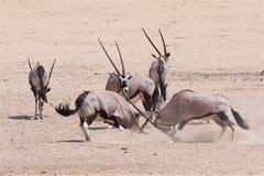 Gemsbuck del Oryx que lucha Fotos de archivo libres de regalías