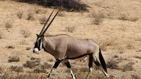 Gemsbuck, der in den Kalahari geht stock footage