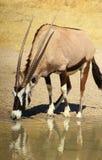 Gemsbuck - Hoofd Sworded Stock Fotografie
