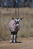 Gemsbuck (Oryx Gazella) Stockfotografie