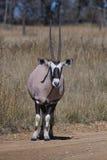 Gemsbuck (oryxantilopgazella) Arkivbild