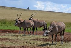 Gemsbuck ou Oryx Fotos de Stock Royalty Free