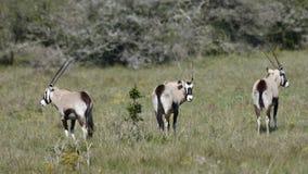 Gemsbuck Sydafrika Fotografering för Bildbyråer