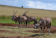 Gemsbuck u Oryx Fotos de archivo libres de regalías