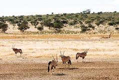 Gemsbuck vier, der im Kalahari weiden lässt stockfoto