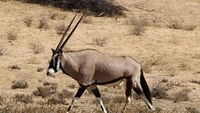 Gemsbuck walking in the Kalahari stock footage