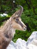 Gemse, Alpentiere, Berge, fotografía de archivo libre de regalías