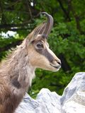 Gemse, Alpentiere, Berge, Fotografia de Stock Royalty Free