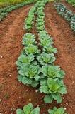 Gemüsegarten Stockfoto