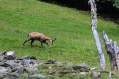 Gemzen alpiene geit van Mont Blanc stock afbeeldingen