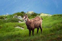 gemzen Behendige die geit-antilope in bergen van Europa wordt gevonden royalty-vrije stock fotografie