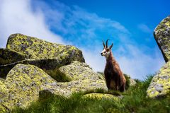 gemzen Behendige die geit-antilope in bergen van Europa wordt gevonden royalty-vrije stock foto