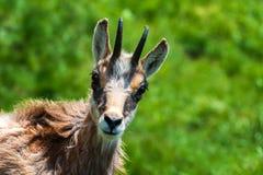 gemzen Behendige die geit-antilope in bergen van Europa wordt gevonden stock foto