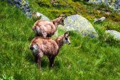 gemzen Behendige die geit-antilope in bergen van Europa wordt gevonden royalty-vrije stock afbeelding