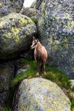 gemzen Behendige die geit-antilope in bergen van Europa wordt gevonden royalty-vrije stock afbeeldingen