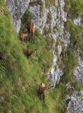 Gemzen in de Karpaten royalty-vrije stock afbeeldingen