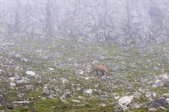 Gemzen de zwarte geit die op berg hicking stock afbeeldingen
