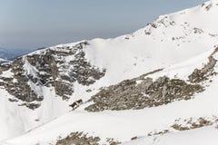 Gemzen door de Alpen stock afbeelding