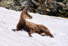 Gemzen het mannelijke koelen weg in de sneeuw Stock Afbeelding