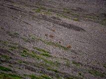 gemzen Rupicapra in de Zwitserse alpen stock afbeeldingen