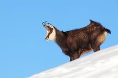 Gemzen - rupicapra, Tatras royalty-vrije stock fotografie