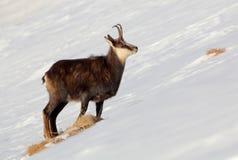 Gemzen - rupicapra, Tatras stock foto's