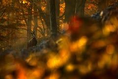 Gemzen van het de herfst de bosverstand, op heuvel, oranje boomachtergrond, Studenec-heuvel, Tsjechische Republiek, het Wildscène royalty-vrije stock fotografie
