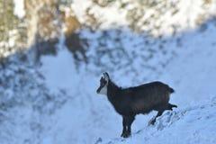 Gemzen in wintertijd, het Nationale Park van Piatra Craiului royalty-vrije stock afbeeldingen