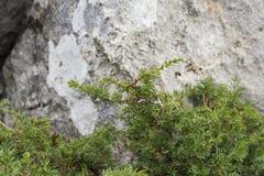 Genévrier commun, sous-espèce communis de juniperus alpina Image stock