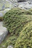 Genévrier commun, sous-espèce communis de juniperus alpina Images stock