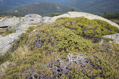 Genévrier commun, sous-espèce communis de juniperus alpina Photos libres de droits